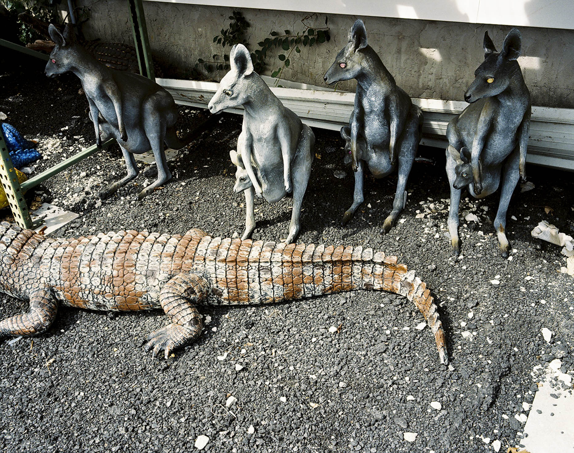 Kangaroos and Aligator